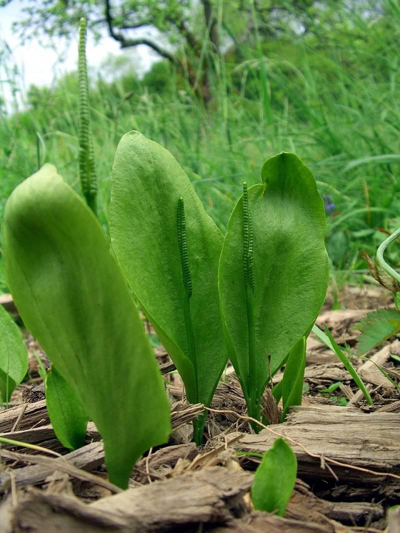Особенности ухода за асплениумом в вазоне, интересные факты о растении
