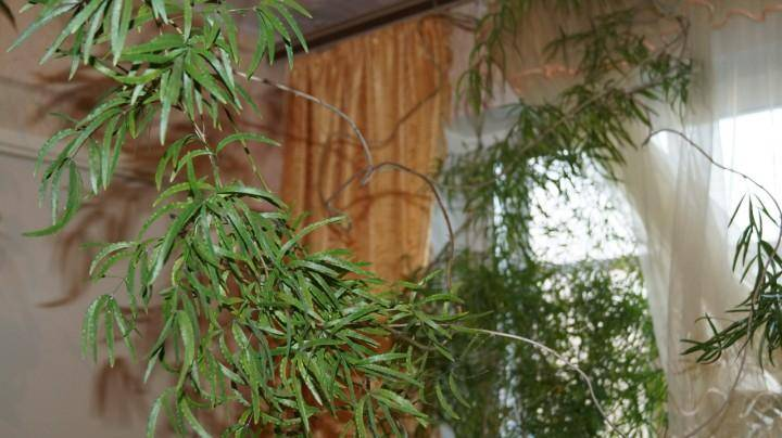 Уход за аспарагусом в домашних условиях