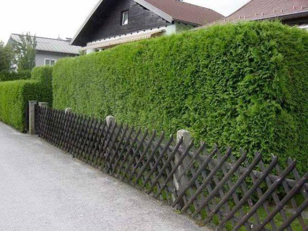 Как устроить живой забор на даче и что лучше посадить в качестве изгороди?