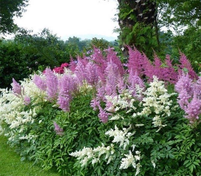 Садовая астильба – описание и условия выращивания