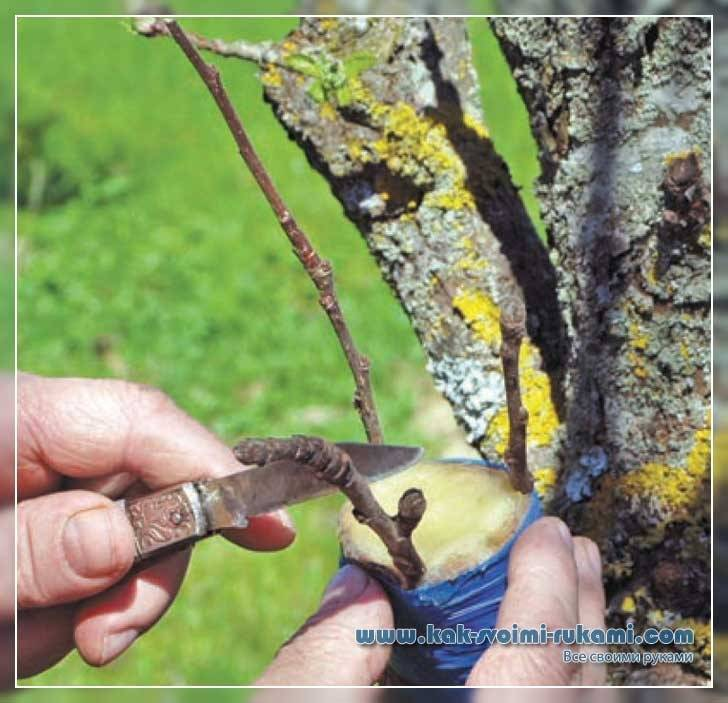 Сроки прививки деревьев различных пород в вашем саду