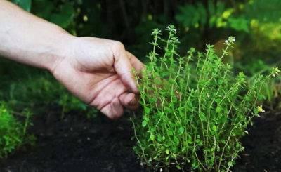 Чабрец (тимьян): особенности выращивания