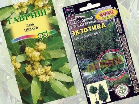 Выращиваем лавр из семян в домашних условиях, следуя советам опытных садоводов