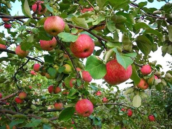 Различные сорта яблонь для средней полосы