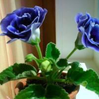 Выращивание глоксиний