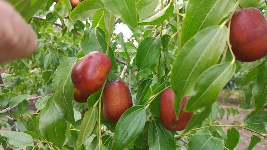 Выращивание и уход за зизифусом, особенности