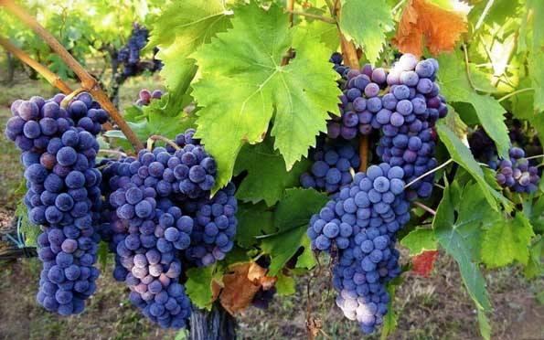 Как обрезать виноград летом от ненужных побегов и листьев
