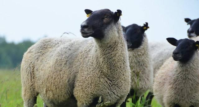 Овцы романовской породы: характеристика, описание и преимущества разведения