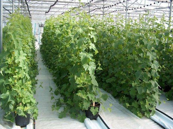 Выращивание огурцов в теплице. все мероприятия от посадки до урожая