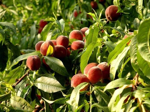 Курчавость листьев персика – лечение