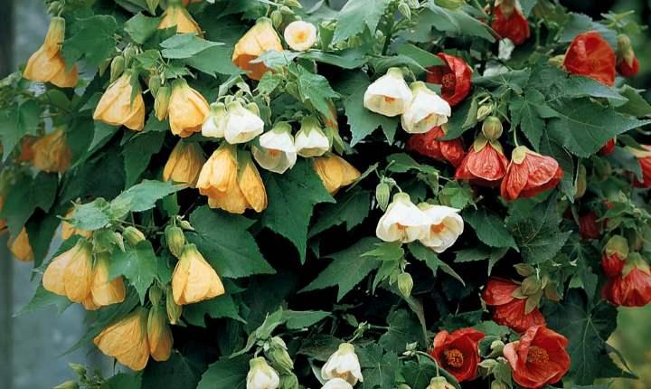 Выращивание абутилона в домашних условиях