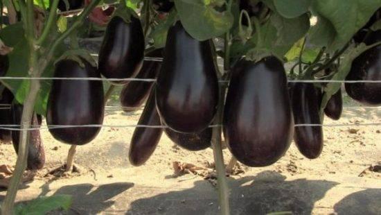 Формирование баклажанов – увеличиваем урожай в 10 раз