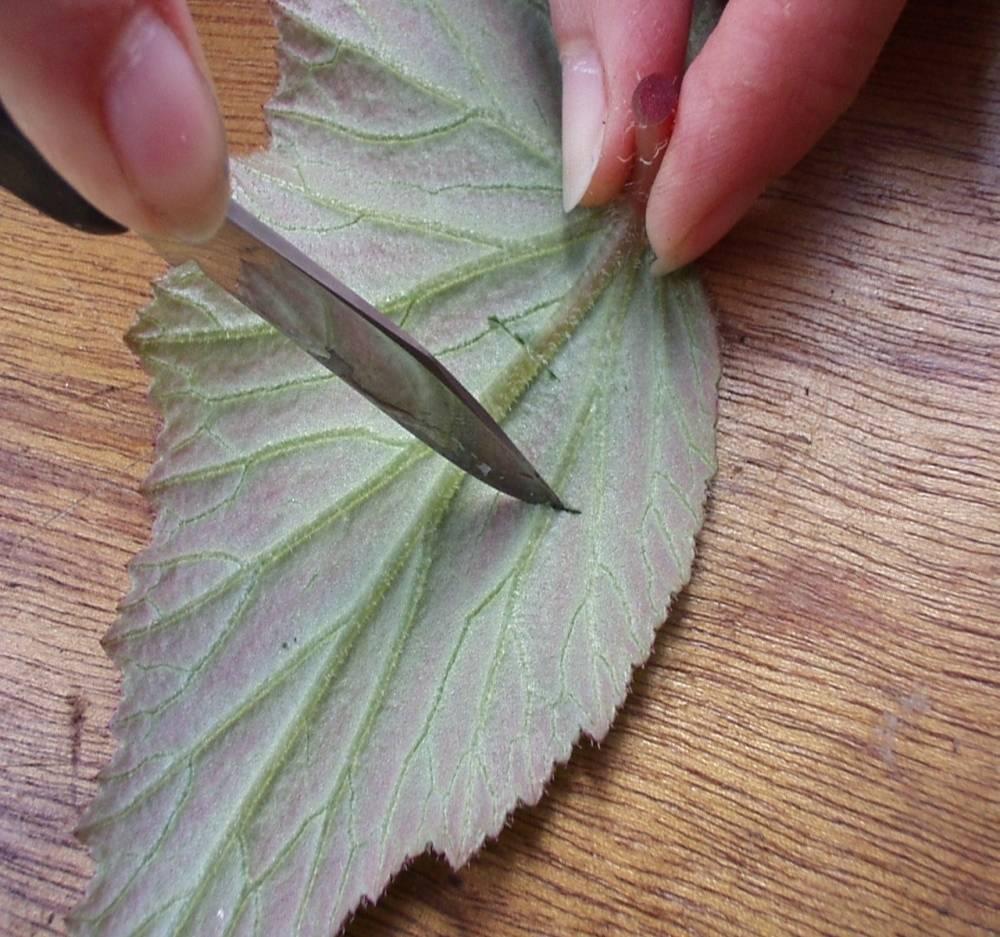 Как размножить разные сорта бегонии черенками: советы цветовода