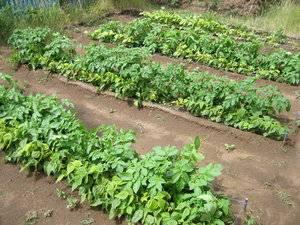 Овощеводство по методу митлайдера