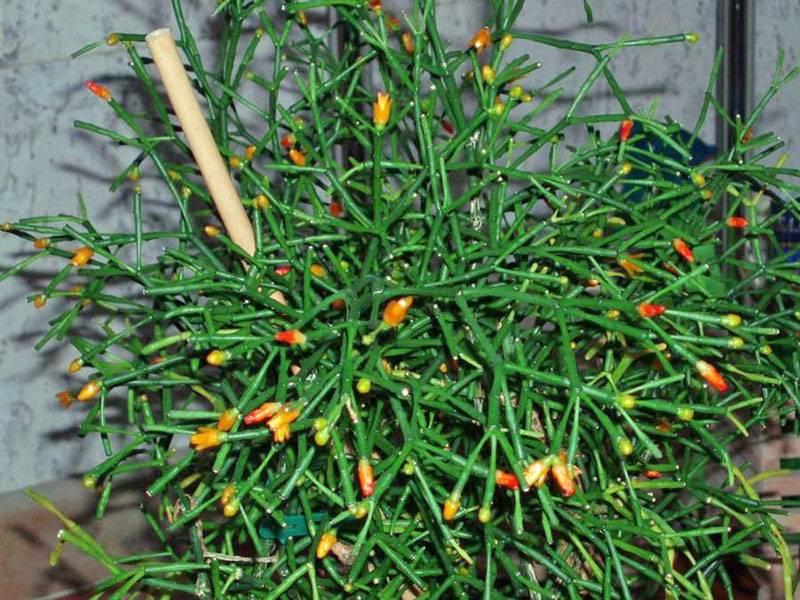 Чистец: виды и сорта, рекомендации по выращиванию