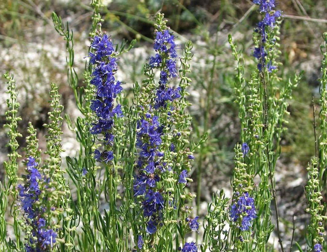 Правила выращивания зверобоя кустарникового и грамотного ухода за ним
