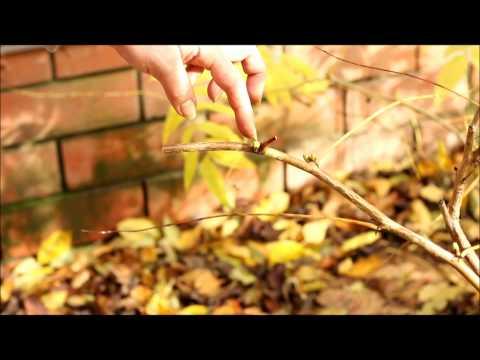 Посадка рябинника рябинолистного и правила ухода за ним в саду