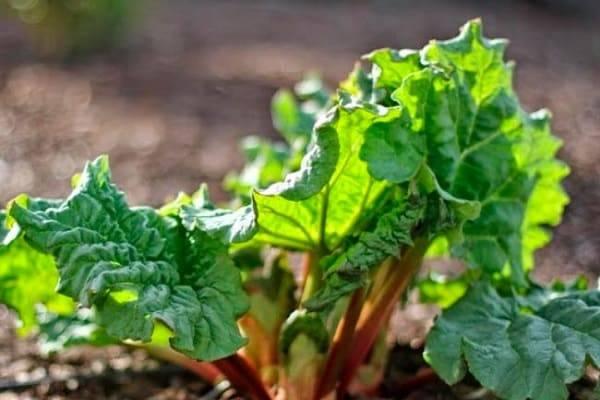 Ревень — выращивание, посадка, размножение и уход