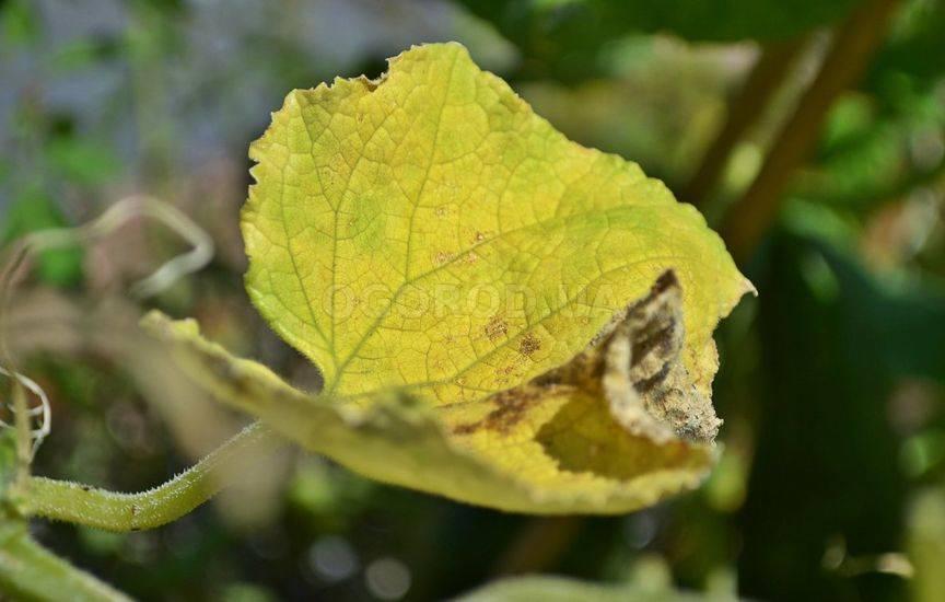 Почему желтеет укроп на грядке
