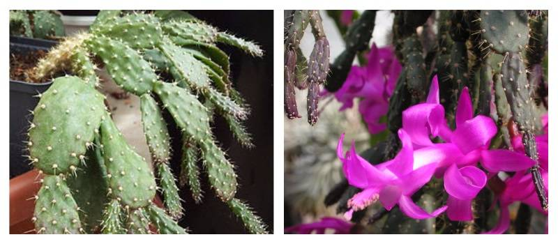Шлюмбергера уход в домашних условиях: основные принципы содержания растения