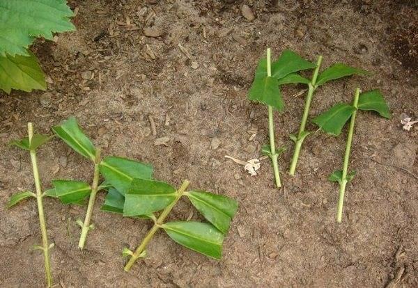 Флоксы — посадка и уход в открытом грунте. выбор почвы и удобрения. размножение флоксов в домашних условиях. фото и видео-уроки по выращиванию