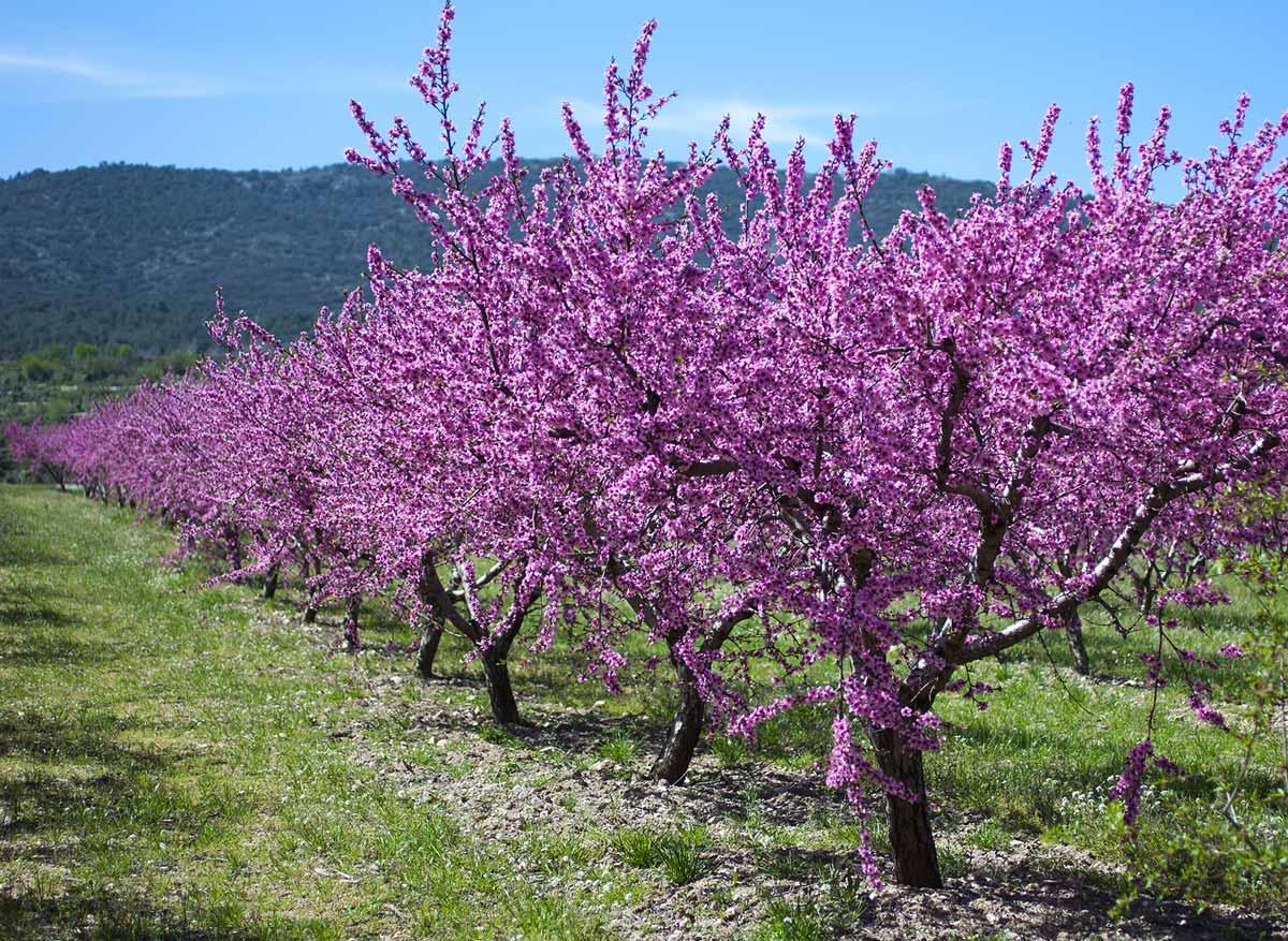 Миндальное дерево: выращивание, посадка осенью или весной, правила ухода за саженцем