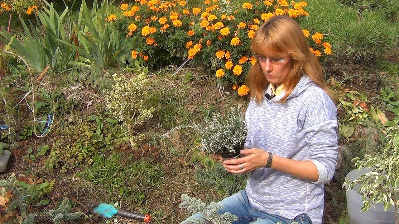 Выращивание вереска в подмосковье: сорта и советы по посадке