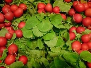 Сорта и гибриды редиса для открытого грунта без стрелкования и цветушности