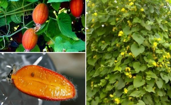 Тладианта красный огурец - выращивание в саду, видео