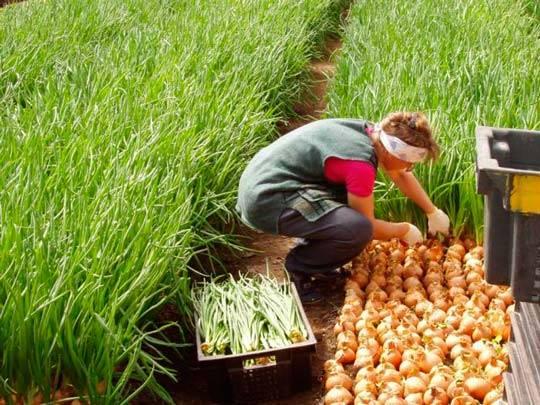 Секреты выращивания лука на перо в открытом грунте или дома