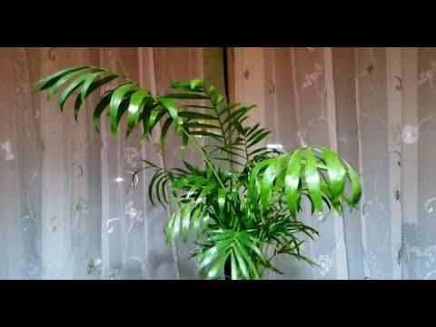 Трахикарпус форчуна: особенности выращивания веерной пальмы в домашних условиях