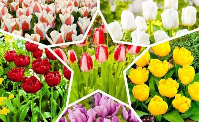 Изучаем сорта тюльпанов по фото с названиями