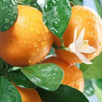 Как отличить лимон от апельсина. ошибки при выращивании цитрусовых (лимон, мандарин).