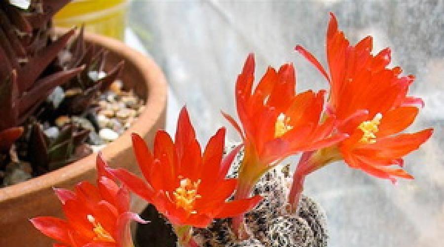 Размножение кактусов в домашних условиях, посадка без корней, как вырастить из отростков, деток, семян и прочие варианты