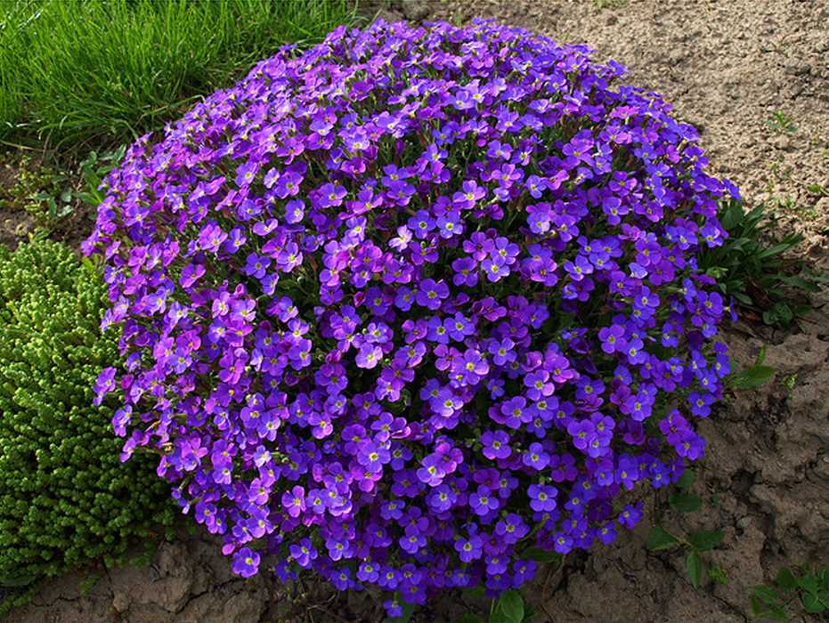 Цветок обриета — выращивание в открытом грунте