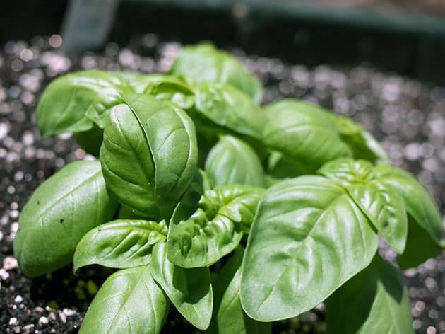 Как посадить и вырастить базилик дома и на грядке на участке? все нюансы ухода за всходами