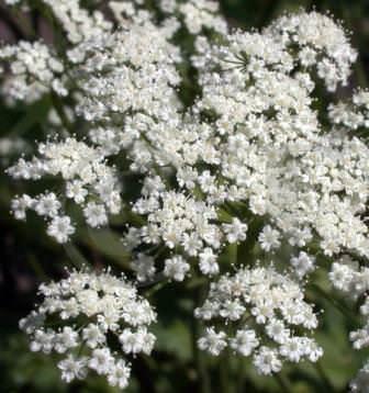 Что такое анис: лечебные свойства и вред, все о применении и особенностях растения