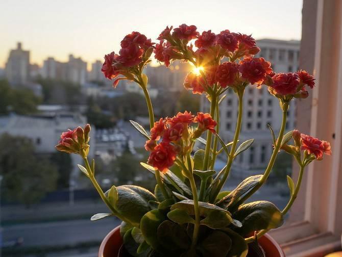Способы выращивания каланхоэ: как размножить цветок в домашних условиях?