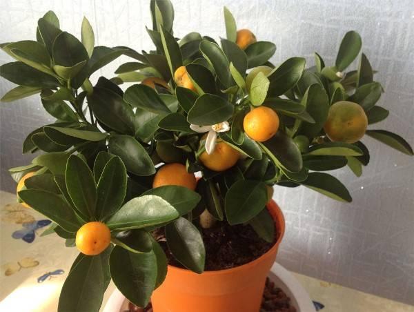 Как вырастить мандарин из косточки в домашних условиях в горшке и как получить сочные плоды: способы и рекомендации