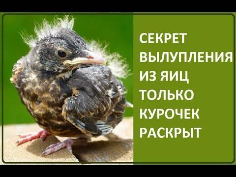 Как петух оплодотворяет курицу