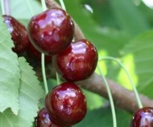 Крупноплодный сорт черешни бычье сердце для дачников средней полосы россии