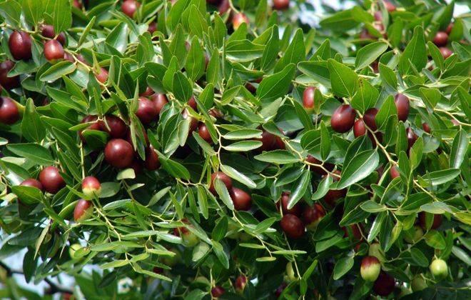 Секреты успешного выращивания зизифуса: от посадки до урожая