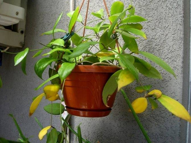 В чем преимущества и недостатки размножения эхеверии листьями? пошаговая процедура посадки дома и в открытом грунте