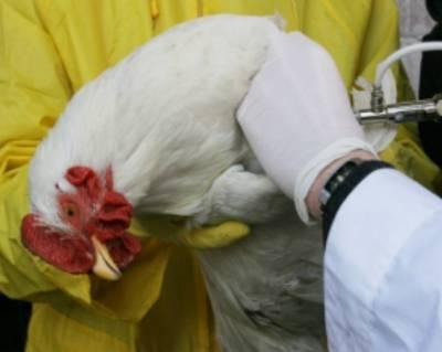 Чем могут болеть цыплята бройлеров и как их лечить