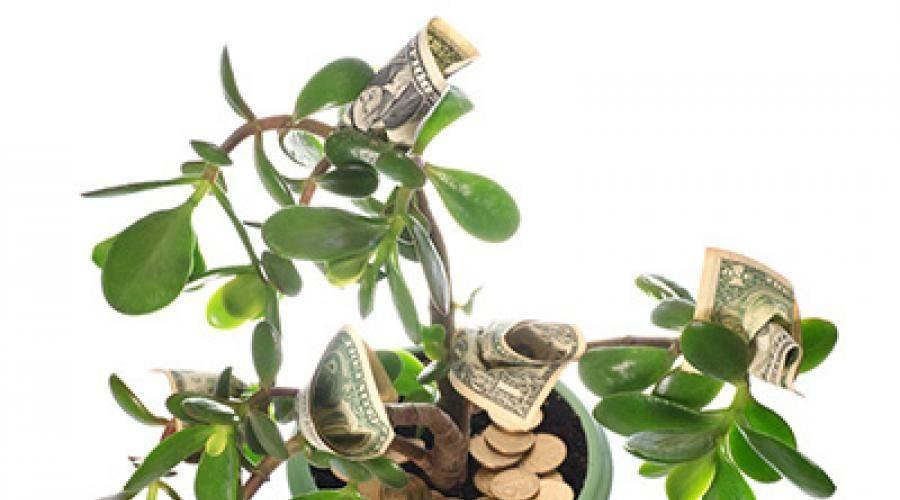 У денежного дерева опадают листья, что делать