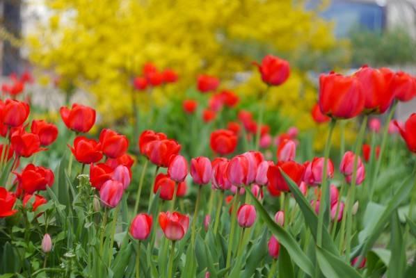 Выгонка тюльпанов — как получить цветы к празднику