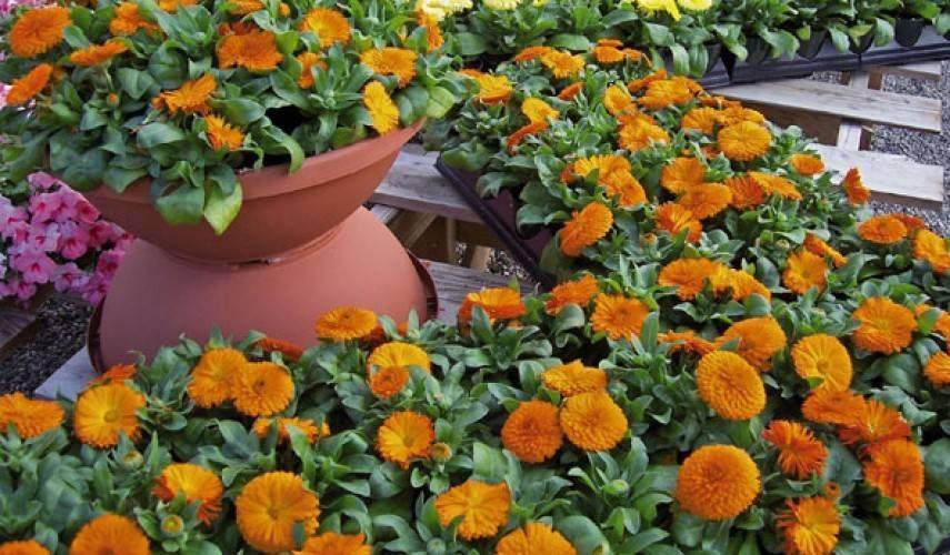 Календула в саду (с фото ноготков)