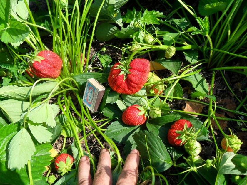 Клубника лорд: сорт с ягодами до 100 г, выведенный для английских аристократов