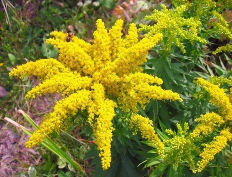 Солидаго-золотарник: фото, выращивание, применение