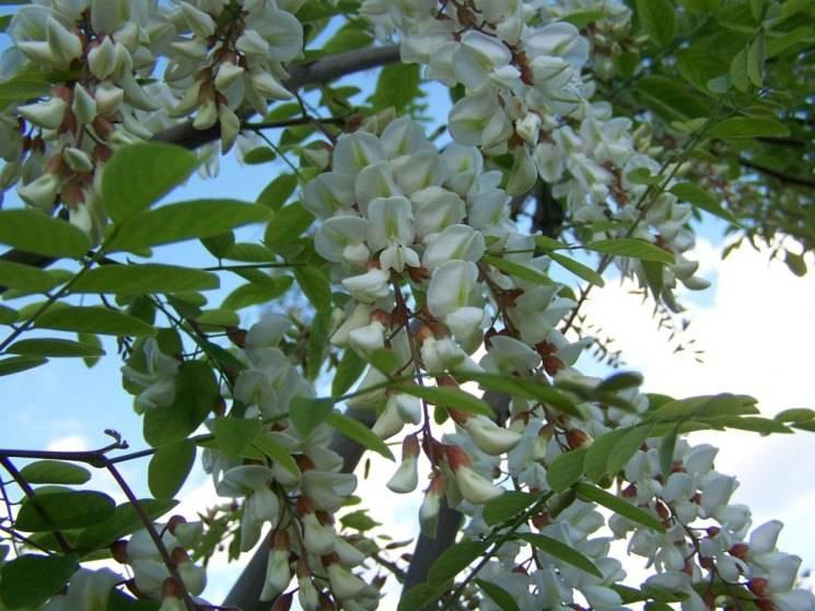 Правильный уход за акацией: размножаем растение семенами